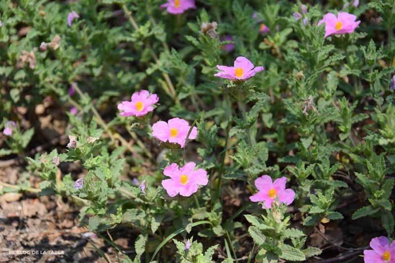 Flores de color rosa de plantas mediterráneas cistus