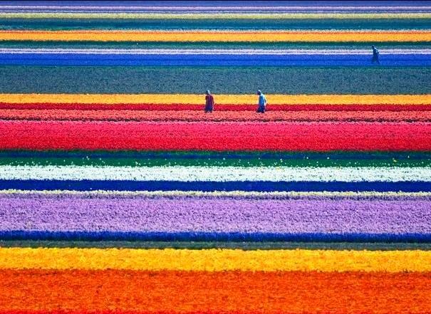 مزارع الزهور image018-767808.jpg