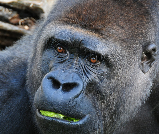 What gorilla poop tells us about evolution and human health