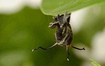Inilah Hewan Dengan Kemampuan Berubah Bentuk Untuk Mengelabui Predator
