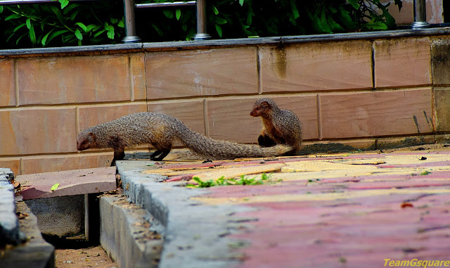 Grey Indian Mongoose
