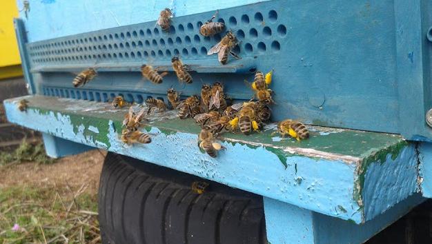 Το πεύκο ξεκίνησε να δίνει μέλι; Εξελίξεις από ανθοφορίες μελιτοφορίες που φτιάχνουν μελίσσια