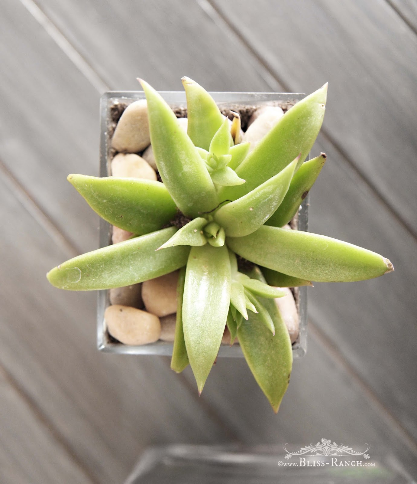Succulents in Goodwill Vases, Bliss-Ranch.com