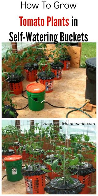 how to grow tomato plants