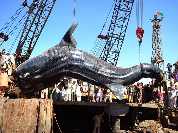 Tubarão Gigante Foi Capturado no Paquistão
