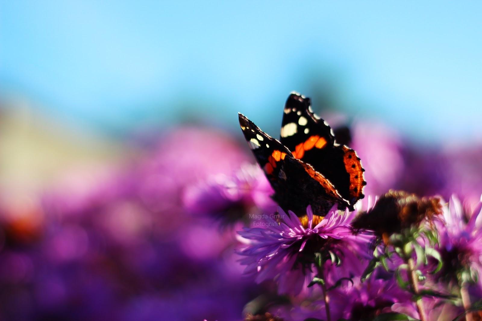 motyle, kwiat, astry, fioletowe astry, kwiaty marcinki, kwiaty michałki