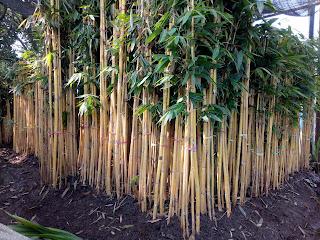 pohonbambukuning