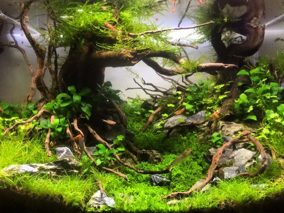 Guppy Fish Guppies: Aquascapes nice