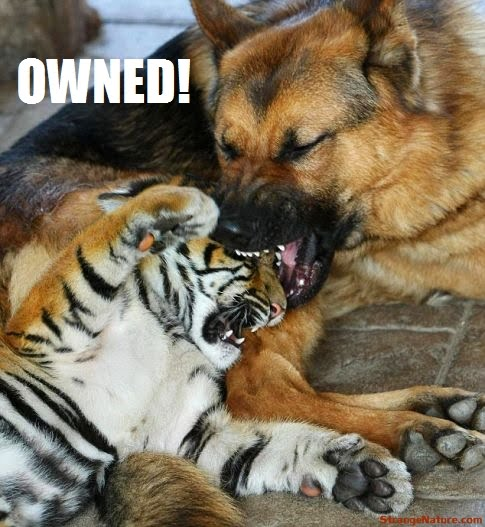 HD Wallpapers: Funny Tiger Pictures