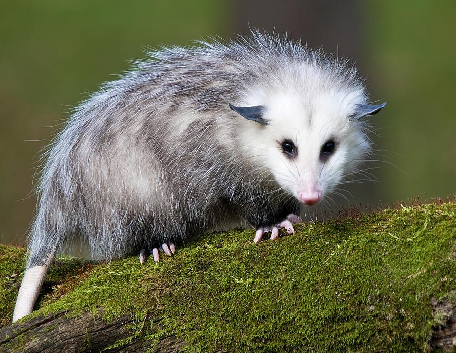 Opossum | Amazing Animal Interesting Facts & Photos | The ...