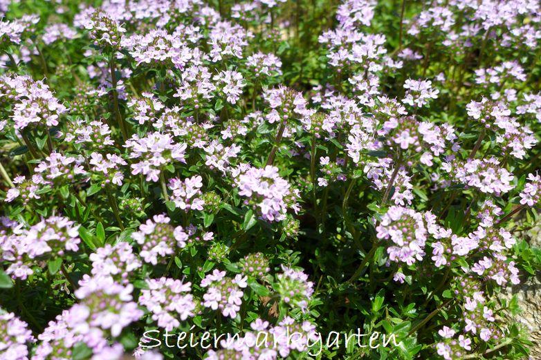 Thymianblüten-Steiermarkgarten