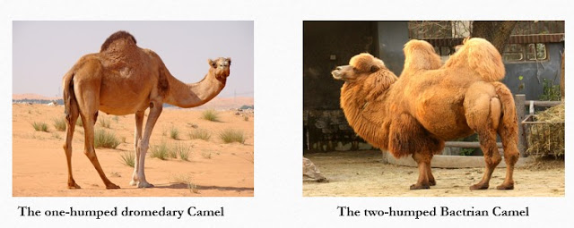 Types of camel fibre