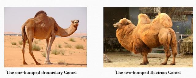 Types of camel fibre