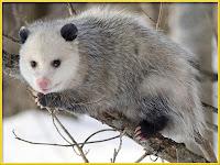 Opossum Pictures Didelphis virginiana
