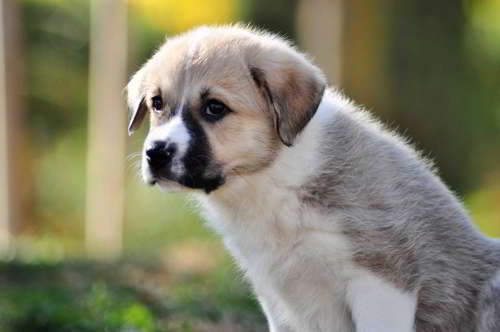 cachorra talla grande
