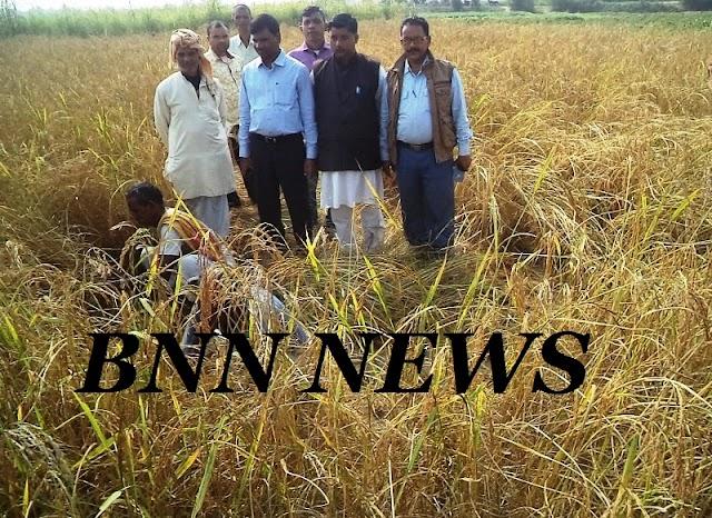 डीसीएलआर ने साहरघाट में कटाया धान