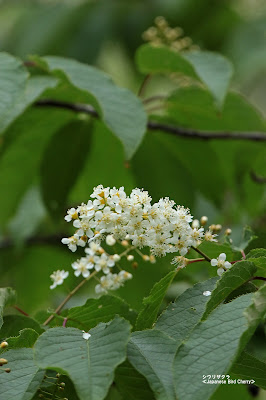 シウリザクラ ≪Japanese Bird Cherry≫