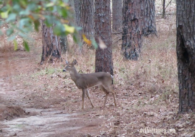 white-tail deer in three rivers florida state park