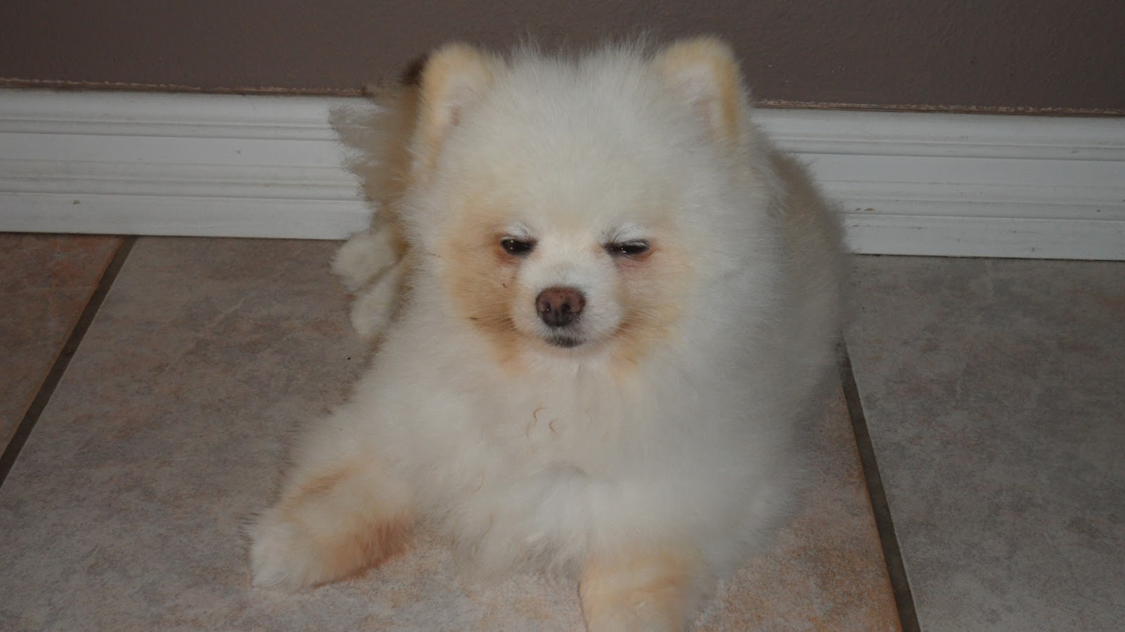 pomeranian coughing pawhealer 174 picture blog amazing results in 2 weeks for 9141