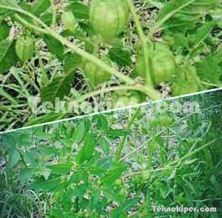 10 Khasiat Manfaat Flora Ciplukan Untuk Kesehatan