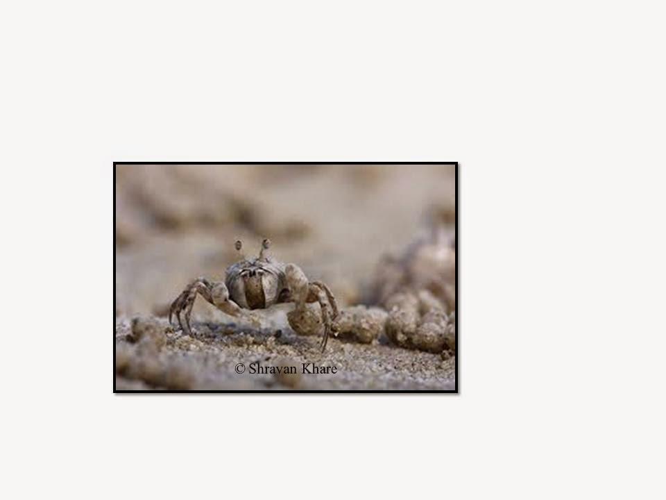 sand bubbler crabs