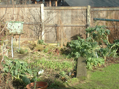 Wide shot of vegetable garden beds in winter with garlic and broccoli plants growing