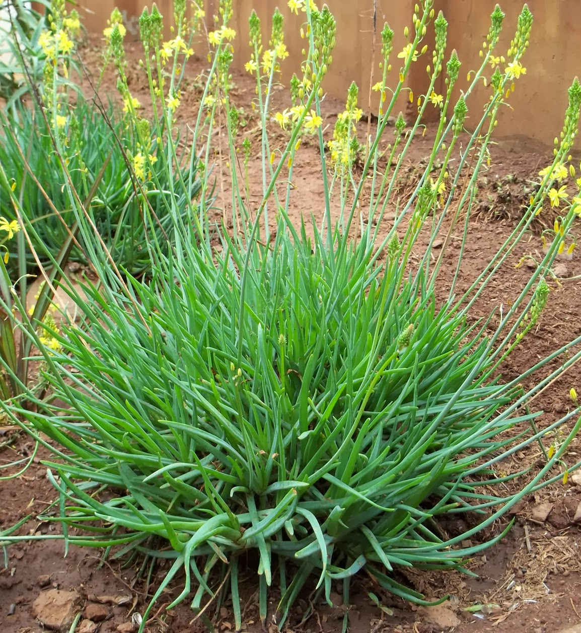 Gardening in africa bulbine frutescens for Planting a garden