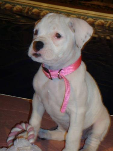 Cute Puppy Dogs: White Boxer Puppies