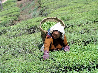 Puttabong Tukvar Tea Estate