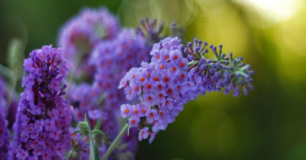55 Gambar Bunga Cantik Warna Ungu Koleksi Istimewa