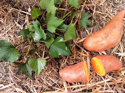 Image of sweet potato plant growing in a polytunnel