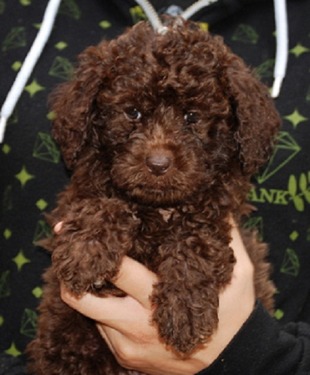 The gallery for --> Brown Labradoodle