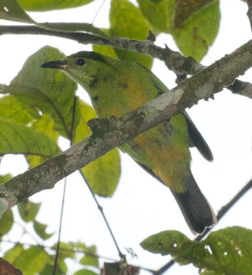 Orange-bellied Leafbird (Chloropsis hardwickii)