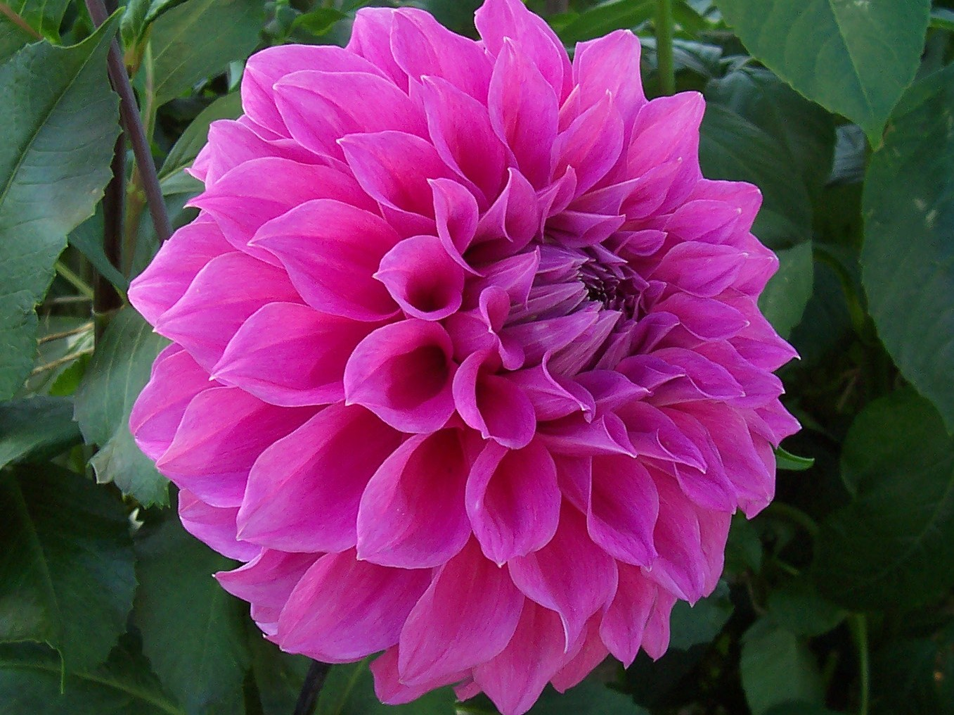 Dahlia Flower Flowers For Flower Lovers Dahlia Flowers Pictures