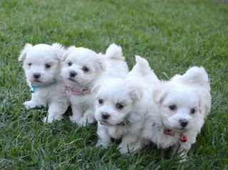 perros malteses juntos