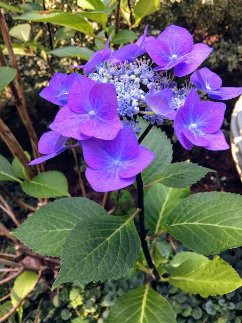 In The Garden Now A Handful Of Hydrangeas