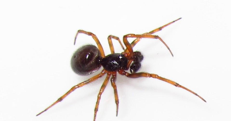 Bugblog Are Male False Widow Spiders Ant Mimics