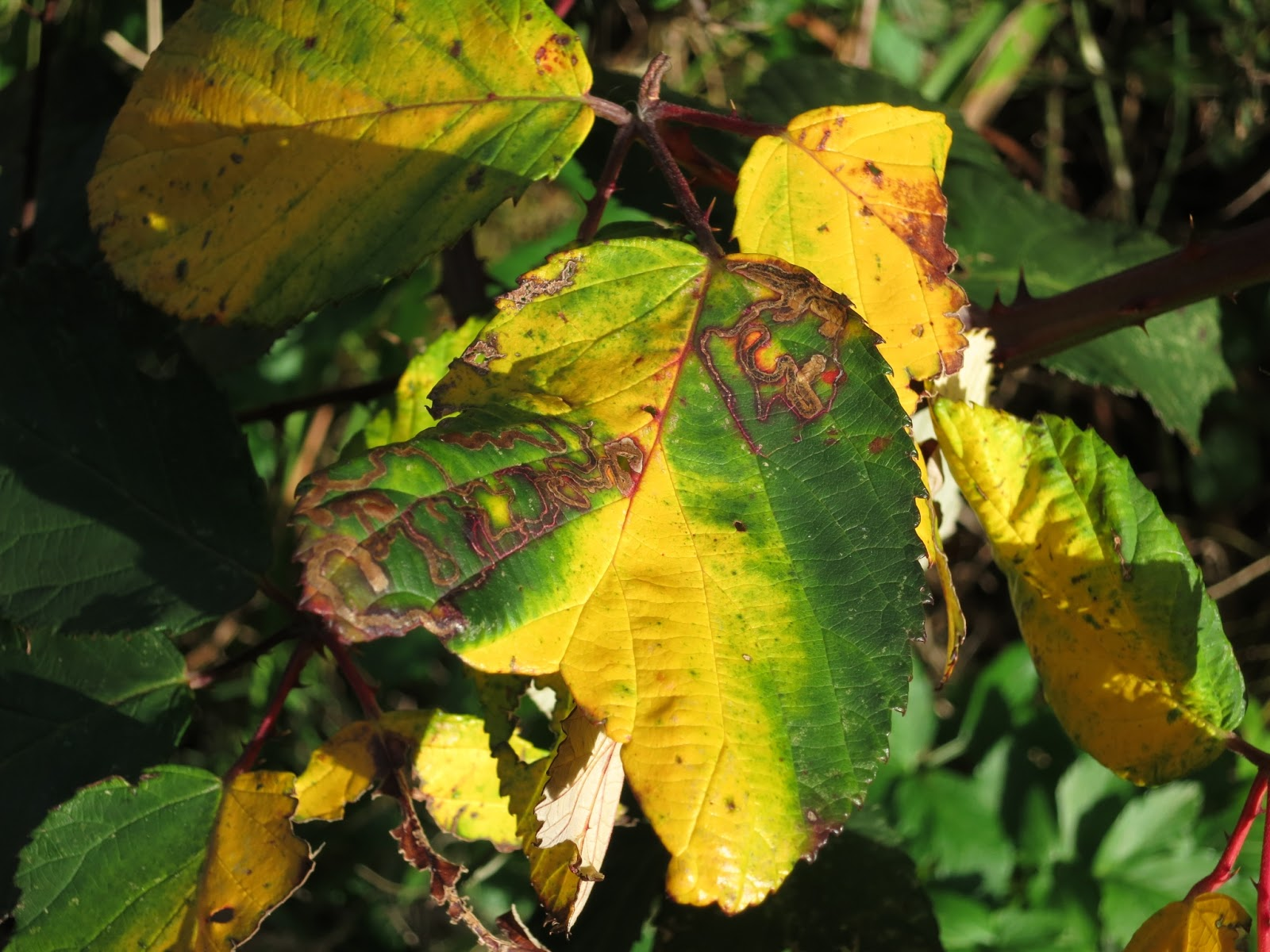 A green and yellow bramble leaf showing miner tunnels and a hunk missing.