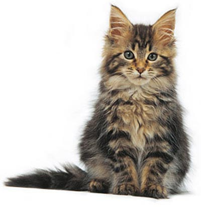 for a cats cat personality maine coon cat breeds cat. Black Bedroom Furniture Sets. Home Design Ideas