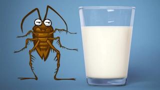Σύμφωνα με επιστήμονες το γάλα κατσαρίδας είναι η υπερτροφή του μέλλοντος