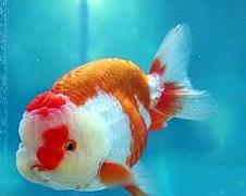 Inilah Jenis Ikan Koki Beserta Gambar Ikan Koki ranchu