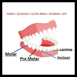 dental formula,human teeth,