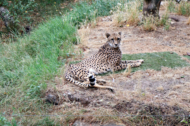 A cheetah lying in the grass at Paradise Wildlife Park