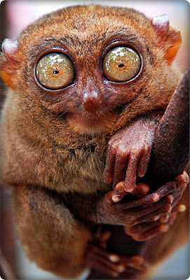 Tarsiers Amazing Facts
