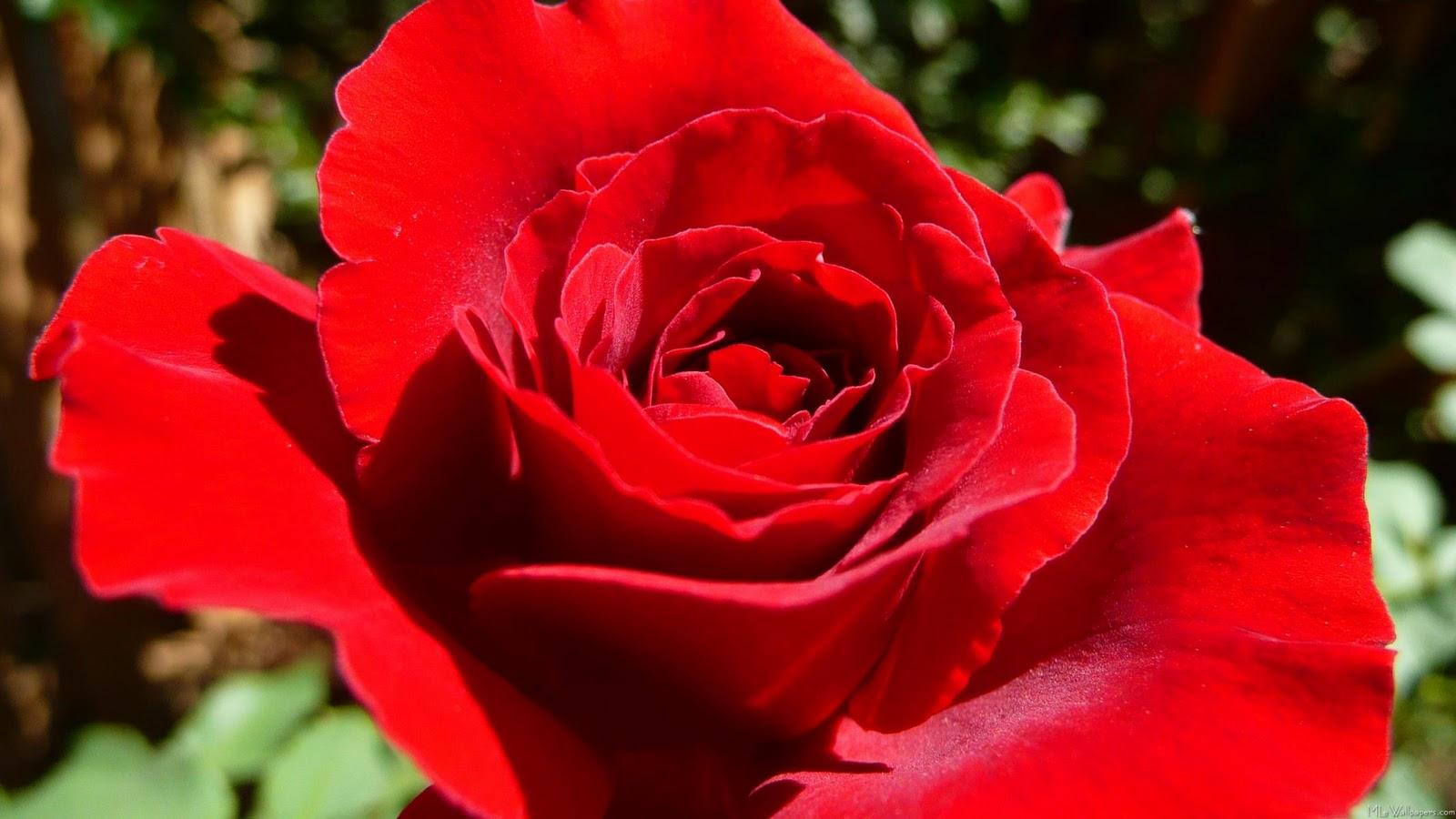 17 beautiful red rose - photo #22
