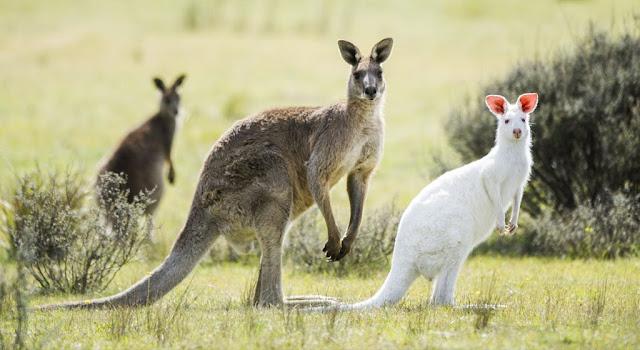 17 Fakta Menarik Tentang Kanguru
