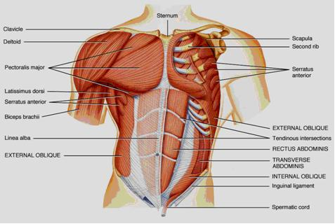 body muscle diagram: Muscle Charts of the Human Body