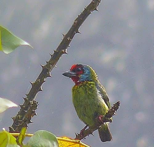 Psilopogon malabaricus
