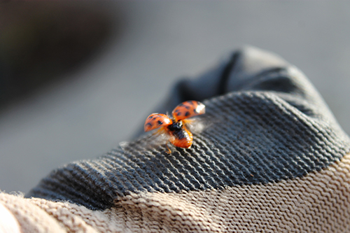 A ladybug with its wings spread