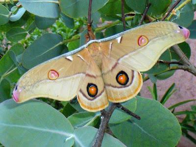 Opodiphthera eucalypti male